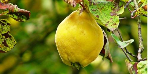 Kilka pomysłów na wykorzystanie owoców pigwowca